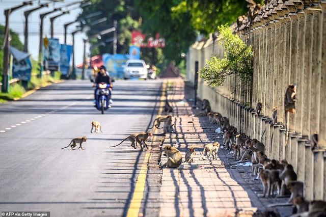 Ở nơi người dân đang phải giành lại thành phố từ... bầy khỉ - 20
