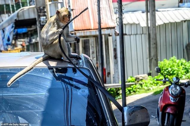 Ở nơi người dân đang phải giành lại thành phố từ... bầy khỉ - 12