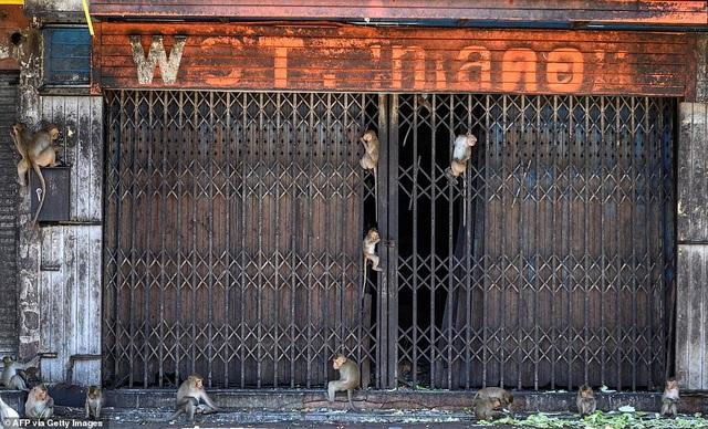Ở nơi người dân đang phải giành lại thành phố từ... bầy khỉ - 7
