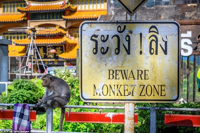 Ở nơi người dân đang phải giành lại thành phố từ... bầy khỉ - 4