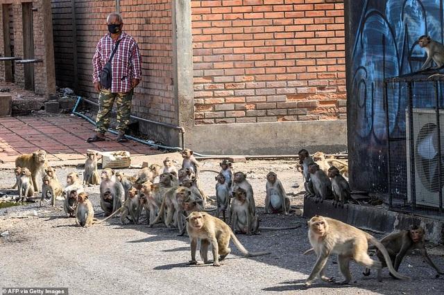 Ở nơi người dân đang phải giành lại thành phố từ... bầy khỉ - 6