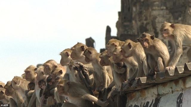 Ở nơi người dân đang phải giành lại thành phố từ... bầy khỉ - 3