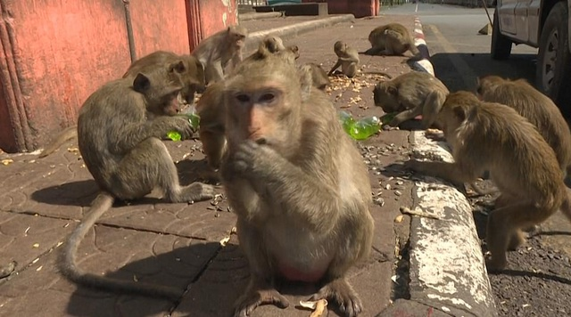 Ở nơi người dân đang phải giành lại thành phố từ... bầy khỉ - 19