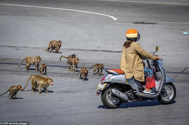 Ở nơi người dân đang phải giành lại thành phố từ... bầy khỉ - 1