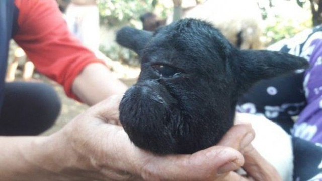 Cừu con chào đời chỉ có 1 mắt - 1