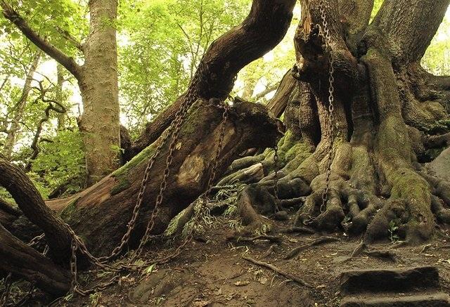 Bíẩn chuyện cây cổ thụ bị xiềng xích chằng chịt suốt hàng trăm năm - 1