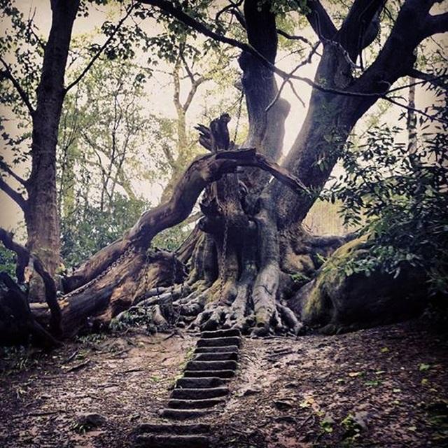 Bíẩn chuyện cây cổ thụ bị xiềng xích chằng chịt suốt hàng trăm năm - 2