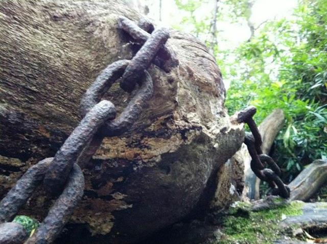 Bíẩn chuyện cây cổ thụ bị xiềng xích chằng chịt suốt hàng trăm năm - 3