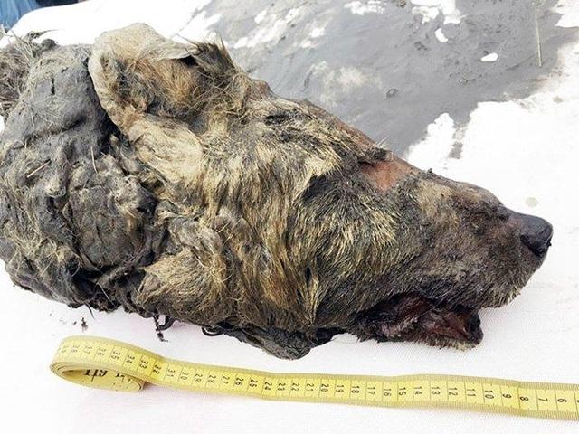Bí ẩn đầu sói khổng lồ 40.000 năm tuổi ở Siberia - 1