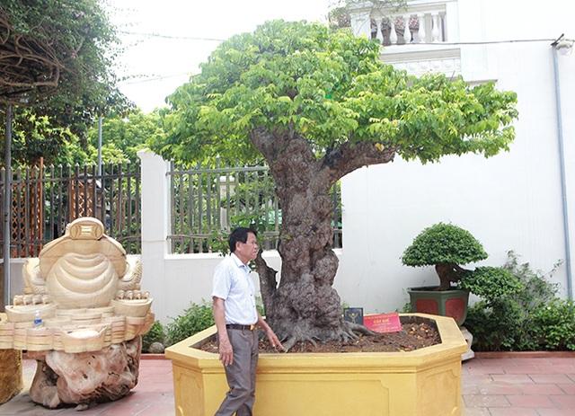 Mãn nhãn với cây khế độc nhất vô nhị có giá 3 tỷ đồng của đại gia Phú Thọ - 1