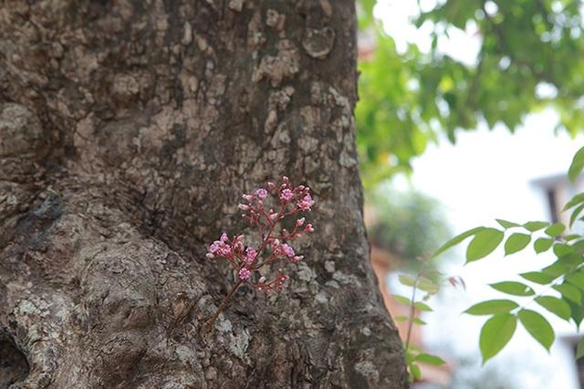 Mãn nhãn với cây khế độc nhất vô nhị có giá 3 tỷ đồng của đại gia Phú Thọ - 10