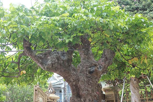 Mãn nhãn với cây khế độc nhất vô nhị có giá 3 tỷ đồng của đại gia Phú Thọ - 11