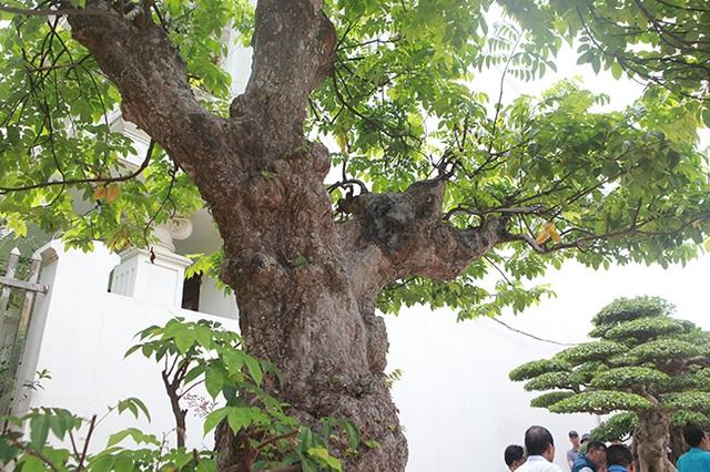 Mãn nhãn với cây khế độc nhất vô nhị có giá 3 tỷ đồng của đại gia Phú Thọ - 12