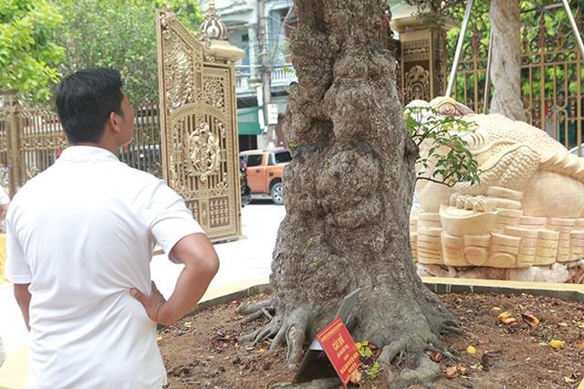Mãn nhãn với cây khế độc nhất vô nhị có giá 3 tỷ đồng của đại gia Phú Thọ - 13