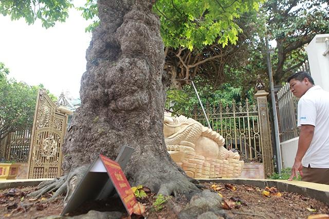 Mãn nhãn với cây khế độc nhất vô nhị có giá 3 tỷ đồng của đại gia Phú Thọ - 2