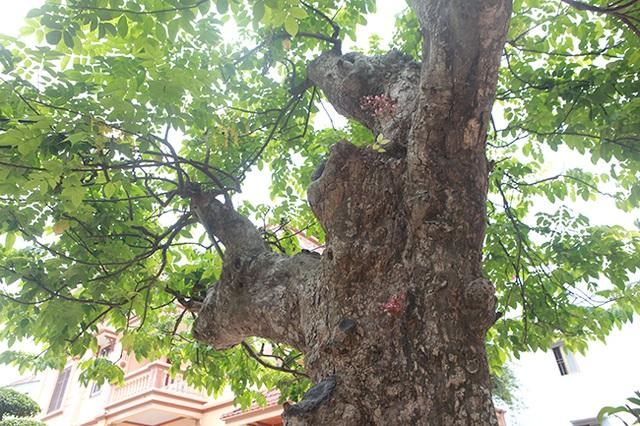Mãn nhãn với cây khế độc nhất vô nhị có giá 3 tỷ đồng của đại gia Phú Thọ - 3