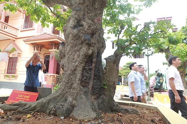 Mãn nhãn với cây khế độc nhất vô nhị có giá 3 tỷ đồng của đại gia Phú Thọ - 5