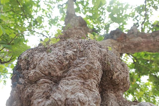 Mãn nhãn với cây khế độc nhất vô nhị có giá 3 tỷ đồng của đại gia Phú Thọ - 6