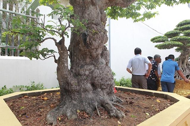 Mãn nhãn với cây khế độc nhất vô nhị có giá 3 tỷ đồng của đại gia Phú Thọ - 8
