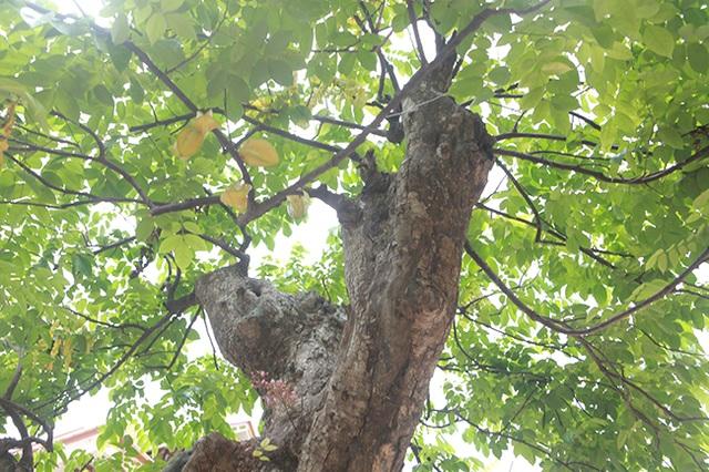 Mãn nhãn với cây khế độc nhất vô nhị có giá 3 tỷ đồng của đại gia Phú Thọ - 9