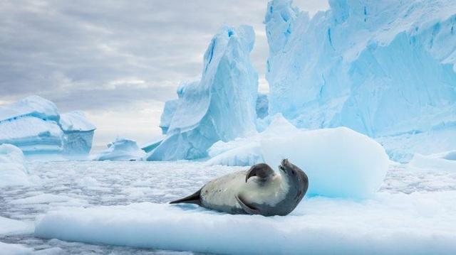 Dòng hải lưu chưa từng được biết đến được phát hiện nhờ... hải cẩu - 1