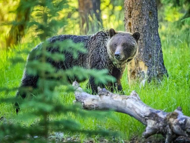 Gấu bị kết án tử hình vì tấn công hai cha con - 1