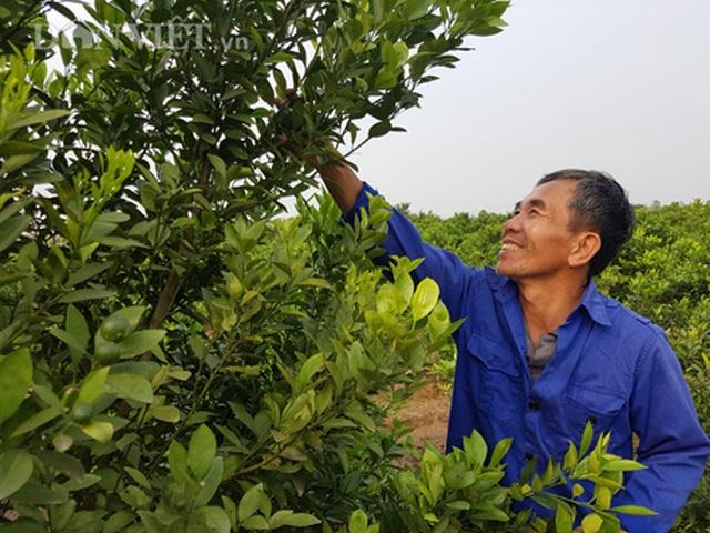 Nam Định: Trồng loại quất ăn sạch, ở sạch, lời nửa tỷ đồng mỗi năm - 1