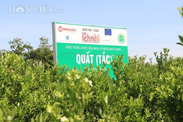 Nam Định: Trồng loại quất ăn sạch, ở sạch, lời nửa tỷ đồng mỗi năm - 2