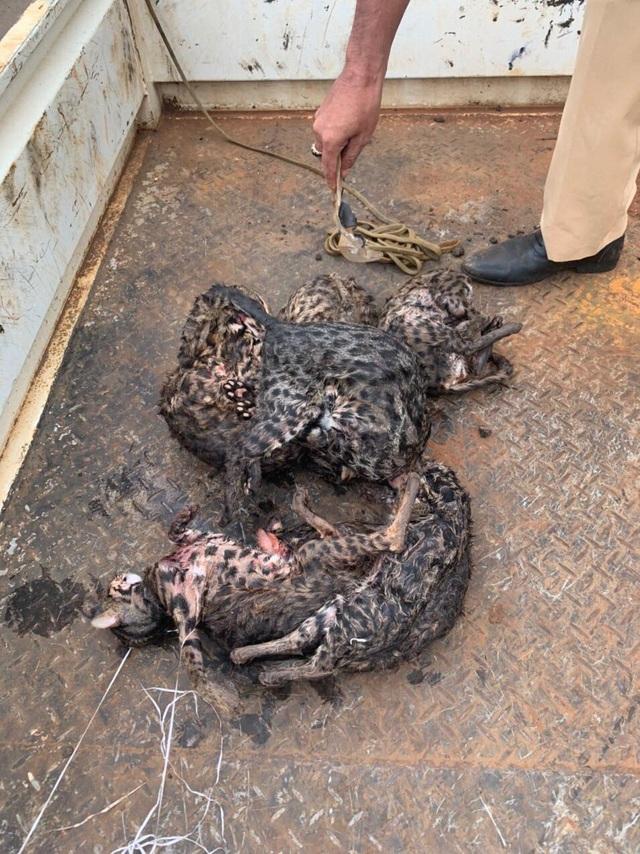 Phát hiện thanh niên săn 8 con thú nghi là mèo rừng quý hiếm - 1