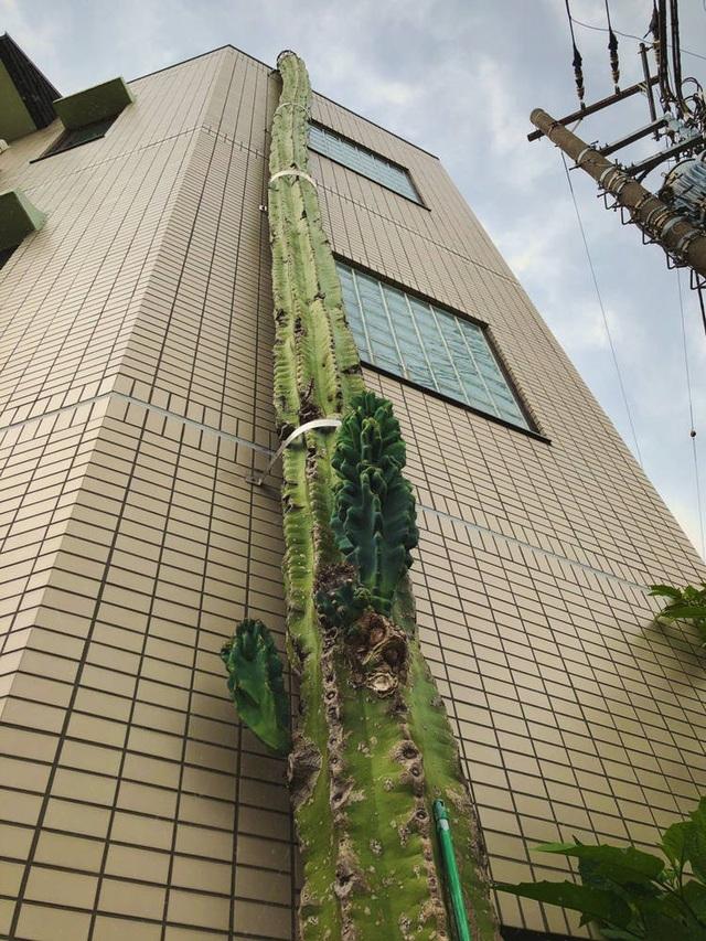Khó tin cây xương rồng cao hơn cả toà nhà 3 tầng  - 2