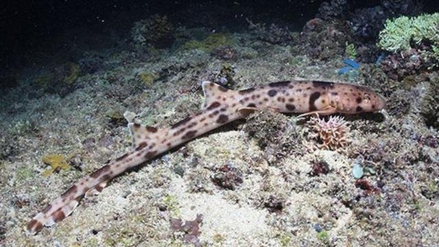 """Những loài cá mập có khả năng """"đi bộ"""" dưới đáy biển - 1"""
