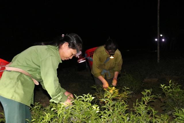 Xót ruột vì cây héo khô, người trồng chè thức trắng đêm tưới nước - 13
