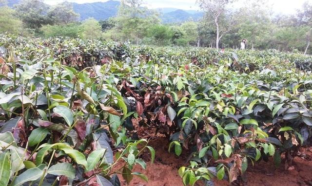 Xót ruột vì cây héo khô, người trồng chè thức trắng đêm tưới nước - 1