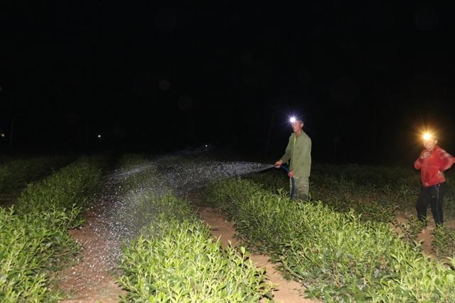 Xót ruột vì cây héo khô, người trồng chè thức trắng đêm tưới nước - 2