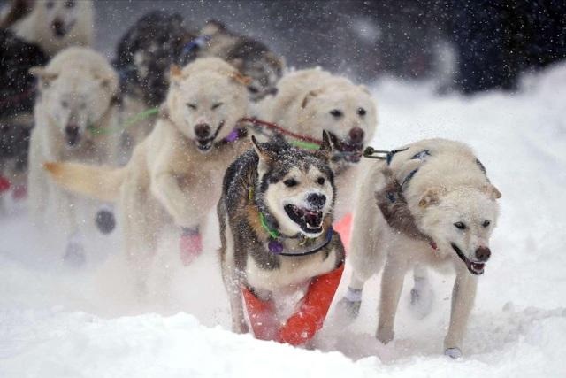 Chó kéo xe cổ xưa đã giúp con người tồn tại trong Kỷ băng hà - 1