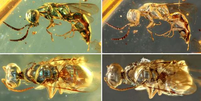 Mẫu hổ phách tiết lộ màu sắc sống động của côn trùng 99 triệu năm tuổi - 3