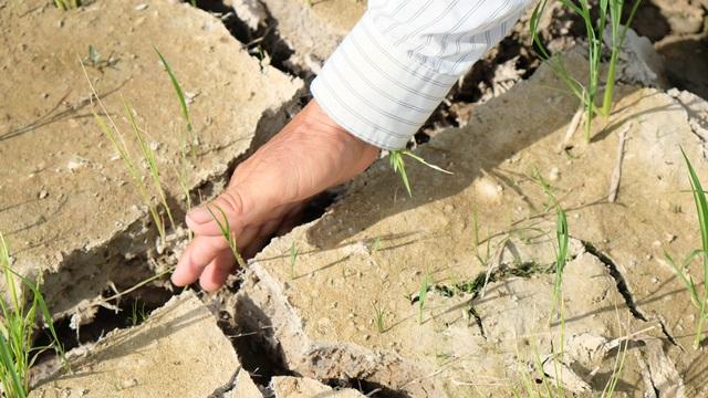Nắng nóng kéo dài, hàng nghìn ha lúa có nguy cơ chết cháy - 2