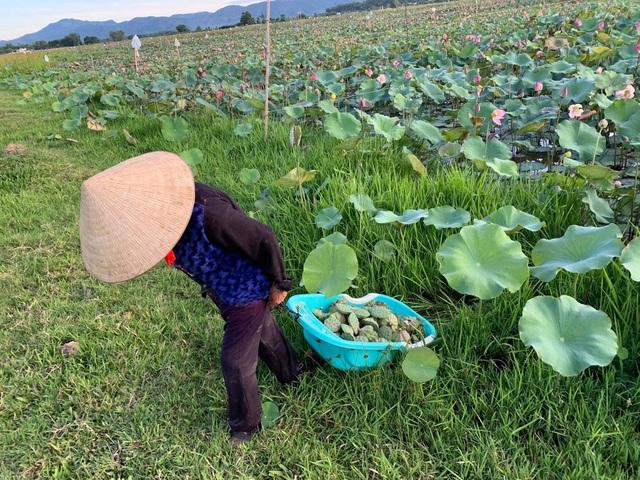 Hà Tĩnh: Kiếm tiền từ thu hoạch sen cuối vụ - 13