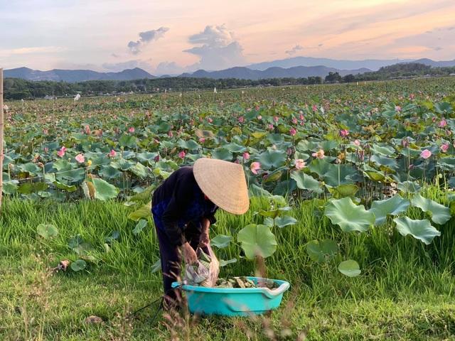 Hà Tĩnh: Kiếm tiền từ thu hoạch sen cuối vụ - 6
