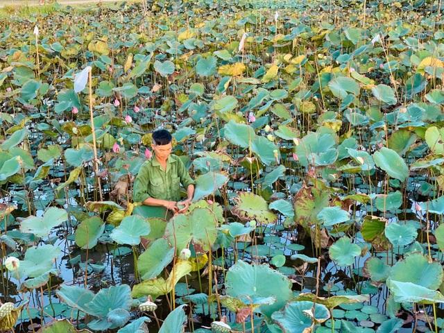 Hà Tĩnh: Kiếm tiền từ thu hoạch sen cuối vụ - 2