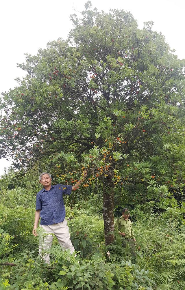 Phát hiện quần thể gần 40 cây thanh mai cổ thụ trong rừng Si Ma Cai - 1