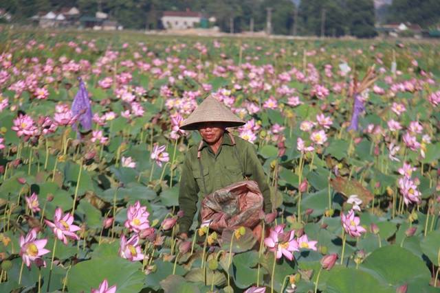Hà Tĩnh: Kiếm tiền từ thu hoạch sen cuối vụ - 8