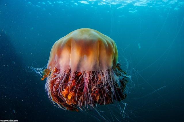 Loài sứa lớn nhất thế giới có nọc độc tấn công bãi biển - 3