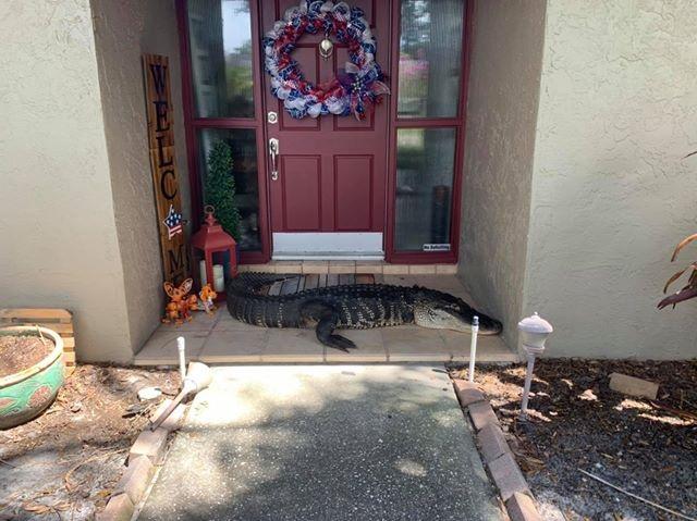 Cá sấu cụt chân chắn ngang cửa nhà gia đình ở Florida - 1