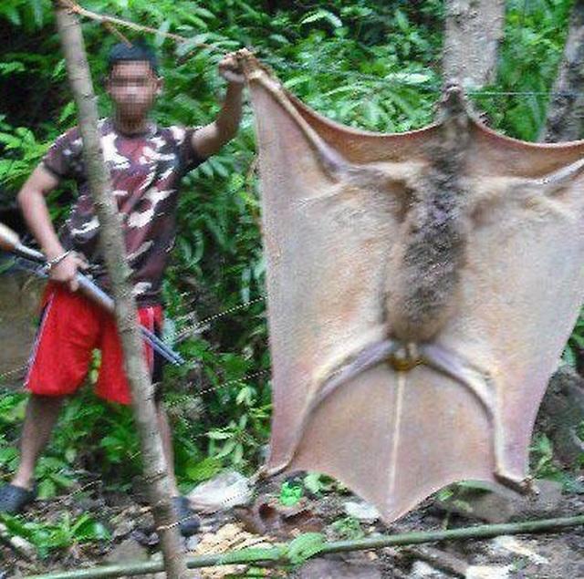 Sốc với loài dơi Philippines to bằng người lớn - 2
