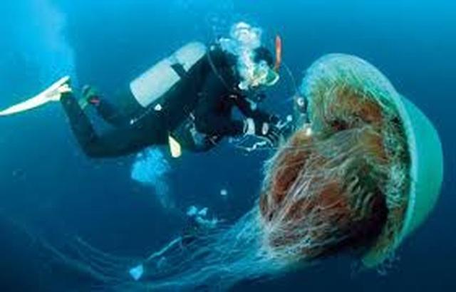 Loài sứa lớn nhất thế giới có nọc độc tấn công bãi biển - 1