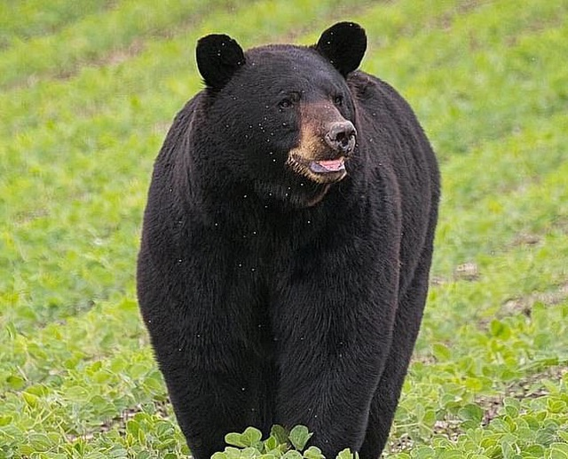Chuyện chú gấu vượt 650km để tìm bạn đời gây sốt mạng xã hội - 1