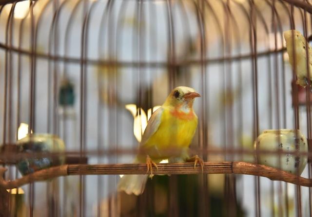 Chú chim 10 màu độc nhất Việt Nam, trả nửa tỷ đồng một con cũng không bán - 2