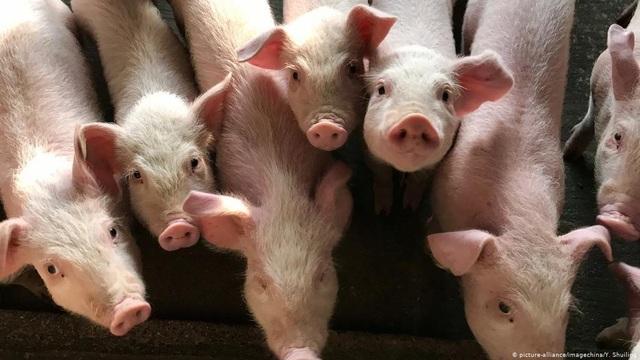 Chủng cúm lợn mới ở Trung Quốc không thể phát triển thành đại dịch? - 1