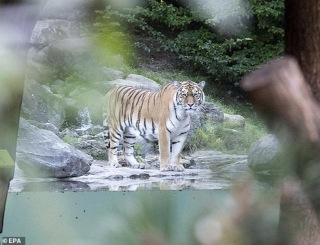 Hổ cắn xé nhân viên vườn thú ngay trước mặt du khách - 1